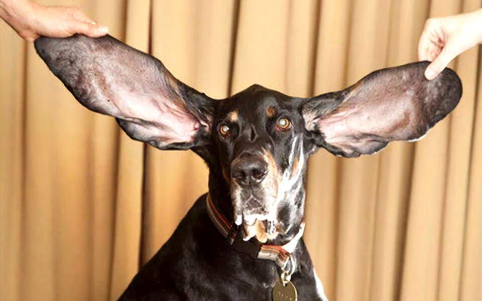 perros con orejas largas